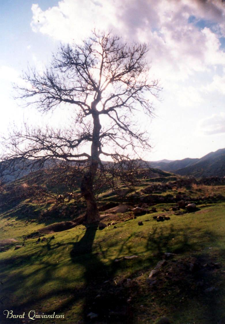 درخت گردوی کهنسال در منطقه ی چشمه ی سلطان زیرابه روستای اماموردیخان قوچان